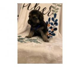 Black and Tan and solid black GSD puppies for sale