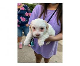 2 Maltipoo mix puppies available