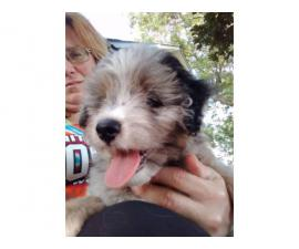 One male Aussiedoodle puppy for sale