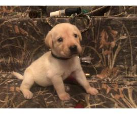 Yellow and black Labrador retriever puppies for sale