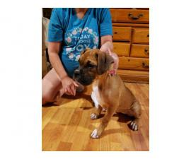 Two playful AKC Boxer Puppies for sale