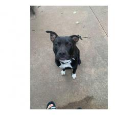 9 months old male bully pit puppy for adoption