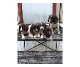 Smart and playful Cocker spaniels