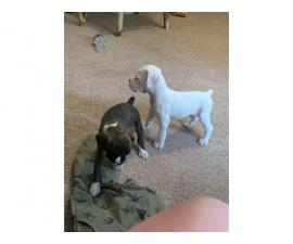 2 males full blooded boxer puppies with papers