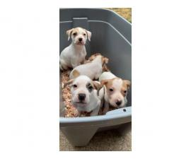 4 American bulldog puppies looking for new homes