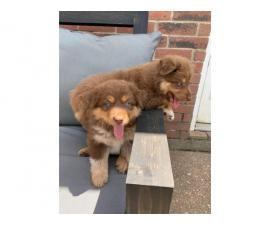 2 male full-blooded Aussie puppies