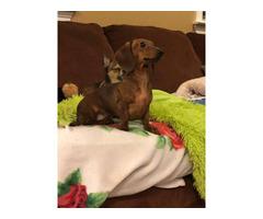 One female Dachshund puppy needing a new home