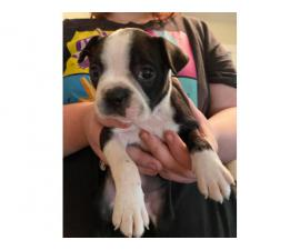 7 weeks old pure breed Boston Terrier puppy
