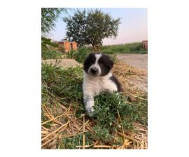 6 Border Collie Puppies For Sale