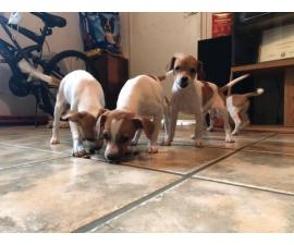 Five Jack Russell Terrier Puppies for Sale