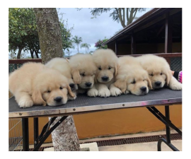 6 AKC registered golden retriever puppies for re-home