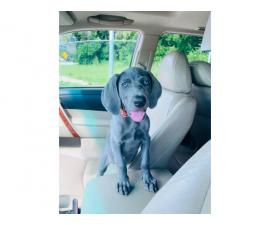 12 weeks old Blue Weimaraner puppy available