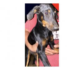 2 Doberman puppies needing good homes.
