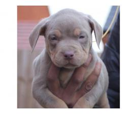 4 American bully for sale