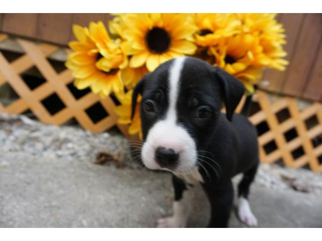 8 Weeks Old American Bully Puppies For Adoption In Cincinnati Ohio Puppies For Sale Near Me