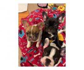 3 males and 1 female AKC French bulldog puppies for sale