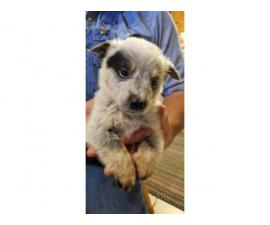 Cattle dog puppies