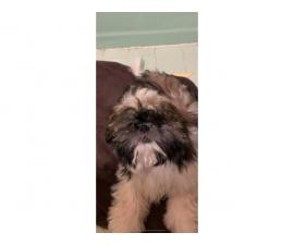 Male imperial fullblooded Shih Tzu puppy