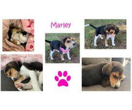 Rehoming 10 weeks old beagle puppy