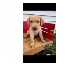 6 ACA registered Labrador puppies available for sale