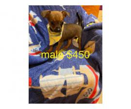 Rehoming 2 Chihuahua Dachshund/ puppies