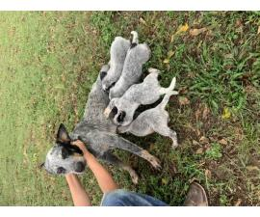 6 weeks old Blue Heeler puppies for sale
