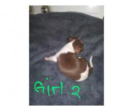 4 adorable Chihuahua Puppies for sale