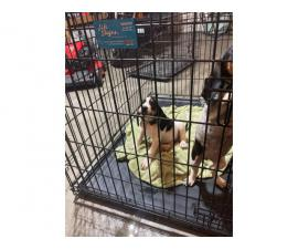 Two bluetick coonhound puppies for sale
