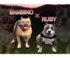 Two boys and a girl purebred American Bully puppies