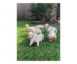 Seven girls and two boys  Lemon beagle puppies