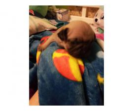 One male pug puppy left