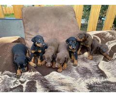 7 Purebred doberman pinscher puppies
