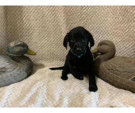 Two AKC registered solid black lab puppies