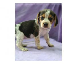 Four beagle puppies up for sale