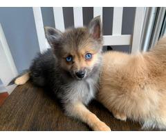 2 beautiful Pomeranian Husky Puppies
