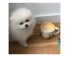 male pomeranian for sale