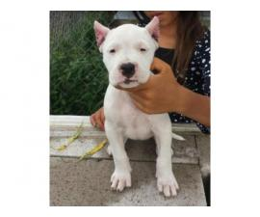 Blancos Dogos Argentino Puppies