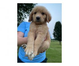 7 weeks old golden retriever puppies for sale
