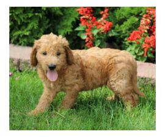 Golden-doodle pups
