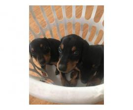 7 weeks old Doberman Pinscher Puppies up for adoption