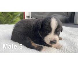 Mini ASDR Aussie puppies available