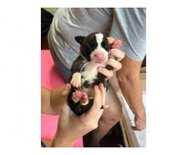 3 boys and 7 girls full breed pitbull puppies