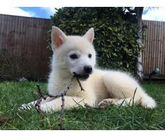 Pomsky pup available