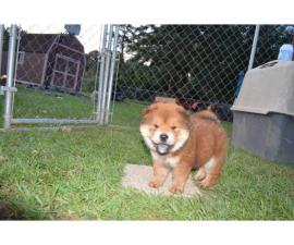 2 Chow Chow Puppies left