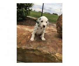Top quality Male and Female Dalmatian  puppies(100% Purebred)