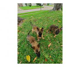 One female and three males adorable Belgian Malinois puppies for sale