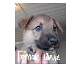 4 female AKC german shepherd puppies
