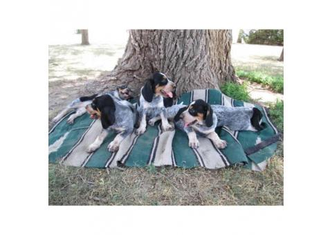UKC Registered Bluetick Coonhound puppies Adoption fee