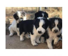 Border Collie Puppy -  Dad and mom on site!