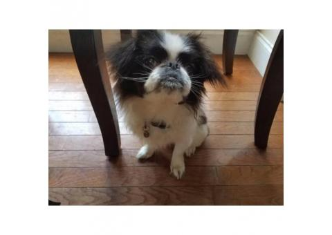 Purebred Japanese Chin puppy registered with paper work